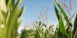 Foto van een maïsveld