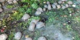 Tortues saisies / schildpadden in beslag genomen
